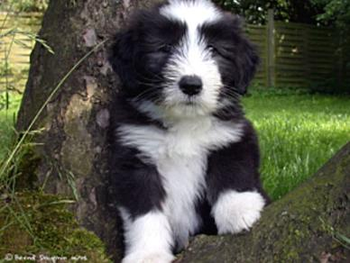 Bearded Collie Dog Breeds