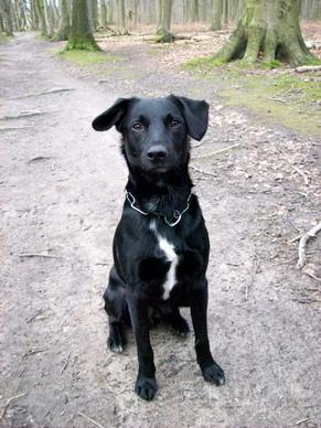 Rottweiler labrador retriever mix dog breeds picture